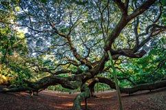 Angel Oak Tree on John`s Island South Carolina Stock Images