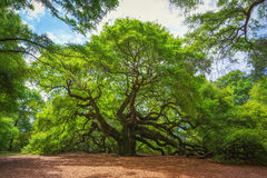 Angel Oak Tree Stock Photos
