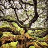 Angel Oak royalty free stock photos