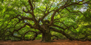 Angel Oak Tree Panorama. The magical looking Angel Oak Tree in South Carolina Stock Photography