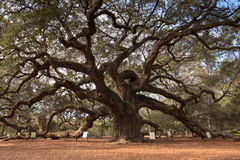 Angel Oak Tree Charleston South Carolina Stock Image