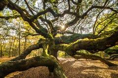 Angel Oak Tree Stock Photos