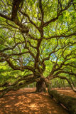 Angel Oak Tree tordant des branches Photos libres de droits