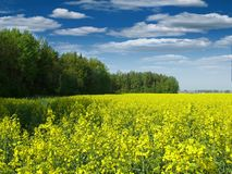 Angel. Rapeseed field near a forest in the open air Royalty Free Stock Images