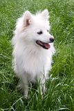 Angel's portrait. Cute white female german spitz posing in green grass royalty free stock photo