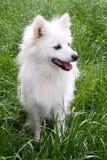 Angel's portrait. Cute white female german spitz posing in green grass Royalty Free Stock Photo