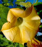 Angel's Trumpet close up Royalty Free Stock Photos