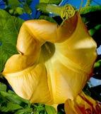 Angel's Trumpet close up. Beatifull yellow Datura-Stramonium (Angel's Trumpet) in garden close up royalty free stock photos
