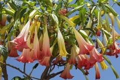 Angel`s Trumpet flowers or brugmansia Brugmansia suaveolens, family solanaceae Stock Photos