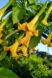 Angel's Trumpet in green garden. Beatifull yellow Datura-Stramonium (Angel's Trumpet) in garden scenery stock images