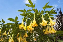Angel`s Trumpet Plant in Bloom Against a Blue Sky royalty free stock image