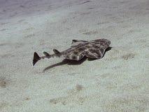Angel Shark juvenil fotografía de archivo