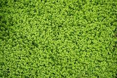 Angel tears grass plant, Soleirolia Soleirolii Royalty Free Stock Image