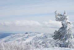 Angel Tree. Top of Mustag mountain near Sheregesh village, Russia Royalty Free Stock Image
