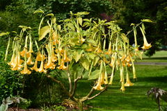 Angel Trumpet Blooms Stock Photos