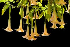 Angel Trumpets Royalty Free Stock Photo