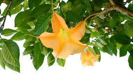 Angel Trumpets Flowers giallo Immagine Stock