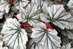 Angel-wing begonia Stock Photo