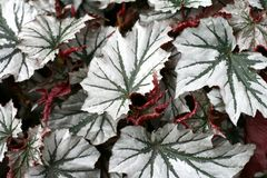 Angel-wing begonia Royalty Free Stock Image
