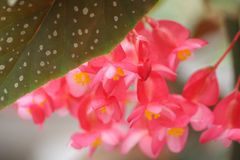 Angel Wing Begonia. Colorful Angel Wing Begonia royalty free stock images