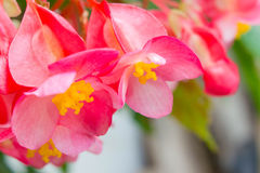 Angel Wing Begonia Royalty Free Stock Images