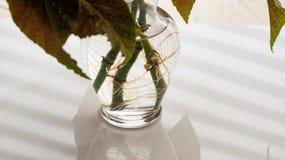 Angel Wing Begonia Rooting en agua imagen de archivo libre de regalías