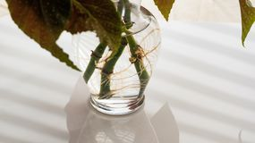 Angel Wing Begonia Rooting in Water royalty free stock image