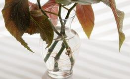 Angel Wing Begonia Stems Rooting en agua foto de archivo