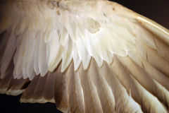 Angel wing (bird feathers from below). Outstretched bird wing, shot from below in low light; feathers various shades of dark and light Royalty Free Stock Photo