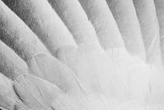 Angel Wings. A close up of outstrectched wing of a turtleneck dove, suitable for overlays and backgrounds, showing white and gray feathers Stock Photography