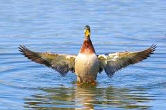 Angel Wings - Mallard Duck flapping his wings stock photo