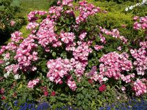 Angela rosa buske royaltyfria foton