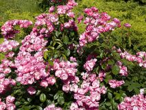 Angela rosa buske arkivfoton