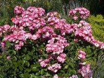 Angela rosa buske fotografering för bildbyråer