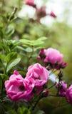 Rose in secret garden Stock Photos