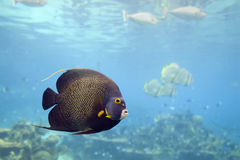 AngelEyed. Brown Yellow Spotted Angelfish in clear water Royalty Free Stock Image