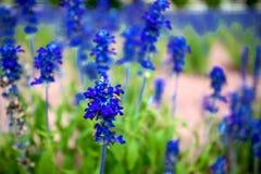 Angelfacepin. Blue Angelfacepin in the garden Stock Image