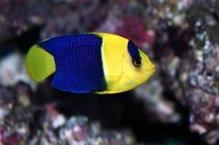 angelfish δίχρωμο centropyge Στοκ Εικόνα