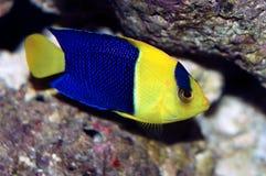 angelfish δίχρωμο centropyge Στοκ Φωτογραφία