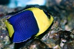 angelfish δίχρωμο centropyge Στοκ εικόνα με δικαίωμα ελεύθερης χρήσης