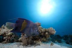angelfish αραβικός ωκεανός Στοκ Φωτογραφία