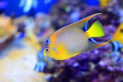 angelfish λατινική βασίλισσα ονόματος holacanthus ciliaris Στοκ εικόνα με δικαίωμα ελεύθερης χρήσης