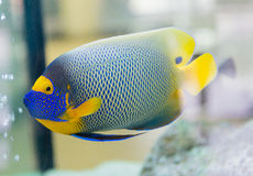 angelfish λατινική βασίλισσα ονόματος holacanthus ciliaris Στοκ φωτογραφία με δικαίωμα ελεύθερης χρήσης