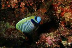 angelfish αυτοκράτορας Στοκ Εικόνα