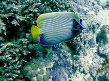 angelfish αυτοκράτορας Στοκ φωτογραφίες με δικαίωμα ελεύθερης χρήσης