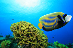 angelfish αυτοκράτορας Στοκ Φωτογραφίες