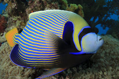 angelfish αυτοκράτορας Στοκ εικόνες με δικαίωμα ελεύθερης χρήσης