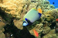 angelfish αυτοκράτορας Στοκ Φωτογραφία
