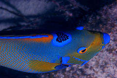 angelfish βασίλισσα Στοκ εικόνα με δικαίωμα ελεύθερης χρήσης
