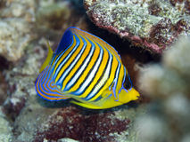 angelfish βασιλικός Στοκ φωτογραφία με δικαίωμα ελεύθερης χρήσης